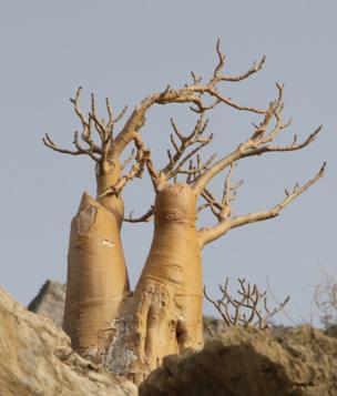 Socotran Desert Rose, Adenium Obesum Socrotanum