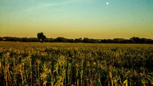 A rapeseed field near Water Eaton just before the sunset behind, while the moon rises in front.