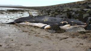 The mInke whale washed ashore