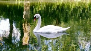 The most elegant bird, a swan, pictured on the Thames at Iffley