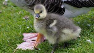 A gosling staying close to mum at Port Meadow