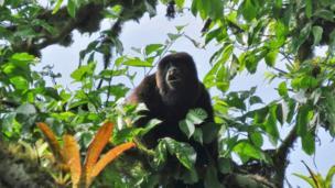 Mono aullador en Manabí, Ecuador