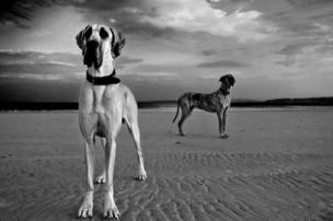 Great Danes on the beach