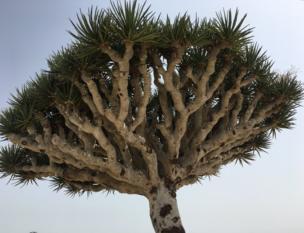 Dragon's Blood Tree, Dracaena Cinnabari
