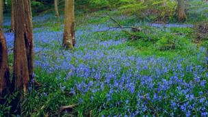This woods brimming with bluebells was captured by Maddie Ottaway in Aberhafesp, Powys.