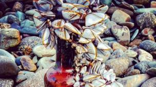 Goose barnacles at Whitesands Beach, St Davids, Pembrokeshire