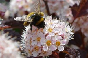 نحلة مشغولة بامتصاص الرحيق