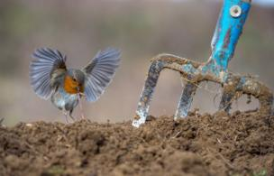 A European Robin pulls a worm out of the group