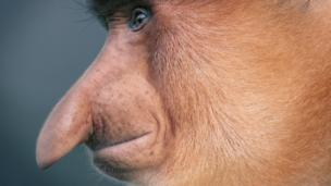 长鼻猴侧脸