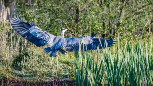 Grey Heron landing on far side of reserve at Pink Hill, Farmoor