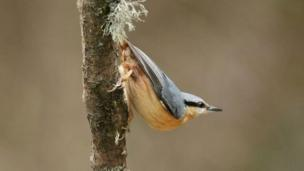 Nuthatch at Roath Park, by Chris Lyle