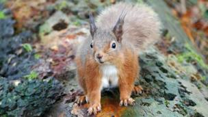 Red Squirrel in Tentsmuir forest.