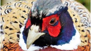 Pheasant at Blenheim Palace