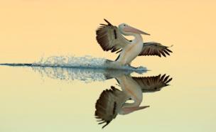 An Australian pelican lands onto the water