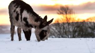 The snow did not stop this donkey looking for a nibble in Belfast