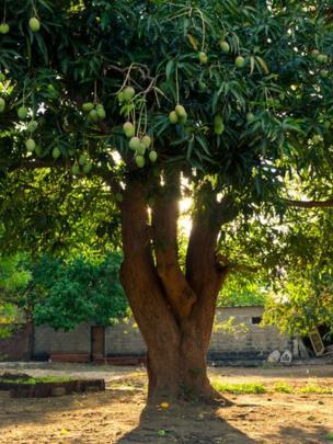 Uma árvore de manga com frutas maduras com o sol ao fundo