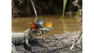 Butterflies on a caiman