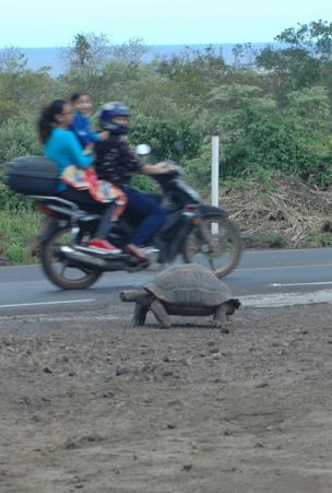 A large tortoise walks along a dirt path whilst a family drive past on a motorbike in the background