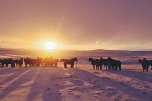 Horses in the Icelandic landscape at sunrise
