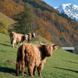 Быка в Баварских Альпах сфотографировала @stasy_ph.