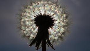 A dandelion in full seed held up againt the sun