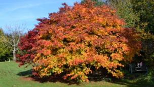 Japanese maple trees in Bridgend, snapped by Alison Nicholas