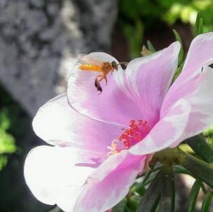 Una abeja busca el néctar de una flor