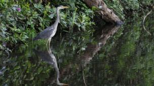 Heron in Coed Gwilym Park in Swansea