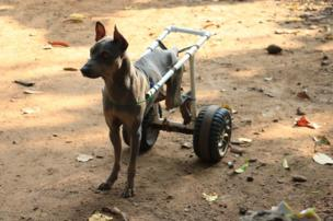 A dog with its back legs strapped back.