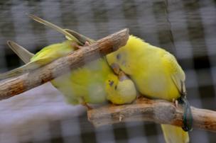 Dos pajaritos besándose