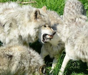 Wolves fighting with each other