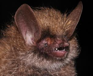Murina kontumensis, a new species of bat