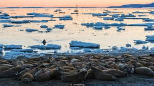 Walruses on Svalbard are on the rebound