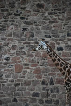 A giraffe against a wall.
