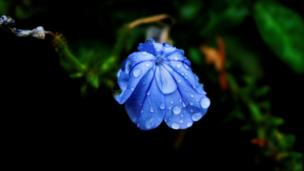 A flower wilting in the rain