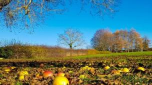 Windfall apples in carpet of dead leaves on a sunny afternoon