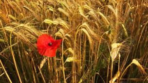 A poppy standing its ground in a field of wheat near Little Milton