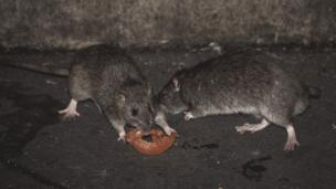 Rats in Paris (file image)