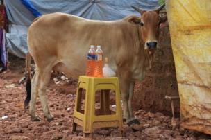 એક સ્ટૂલ પર પેટ્રોલની ભરેલી બૉટલની પાસે એક ગાય