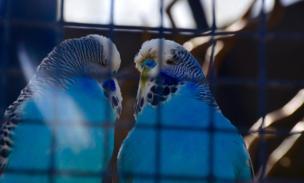 2 periquitos en una jaula