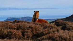 Wild pony on Conwy Mountain