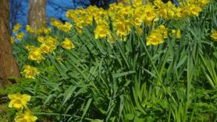 Daffodils in Alexandra Park, Penarth