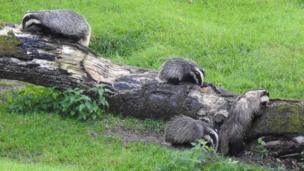 Badger watch at Llandeilo