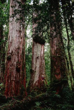 أشجار أليرس الضخمة