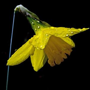 Close-up of daffodil