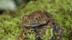 Orange-eyed litter frog