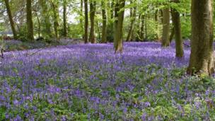 Bluebells near Nuffield taken by Tony Simmons