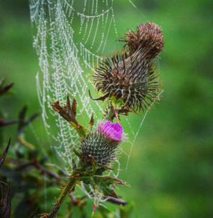 A thistle and cobweb