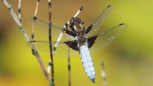 This broad-bodied chaser dragonfly
