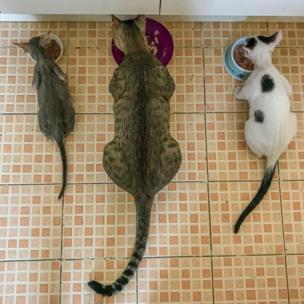 Tres gatos.